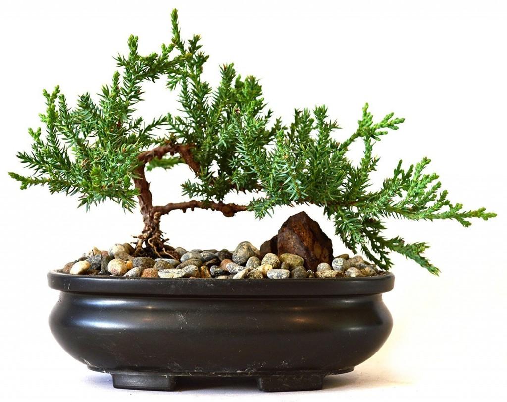 Best Indoor Bonsai