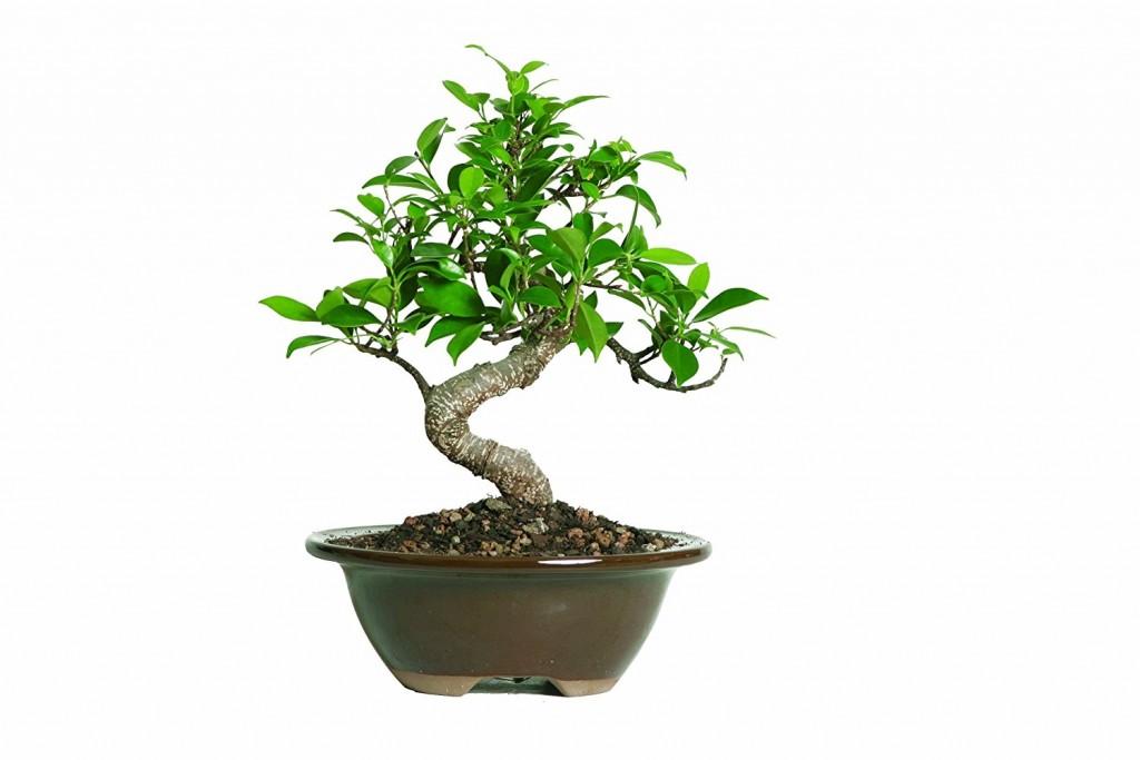 Buy Indoor Bonsai Tree