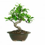 Buy Indoor Bonsai Tree