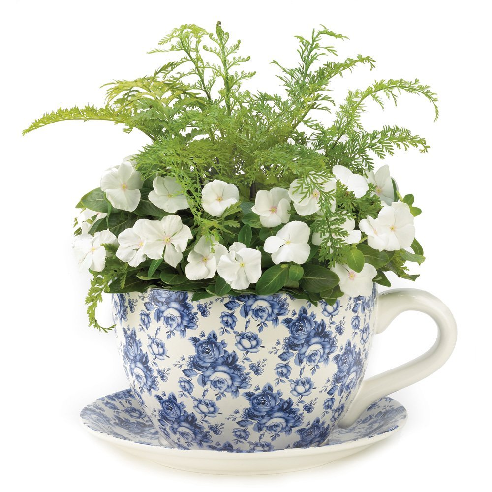 Cup And Saucer Plant