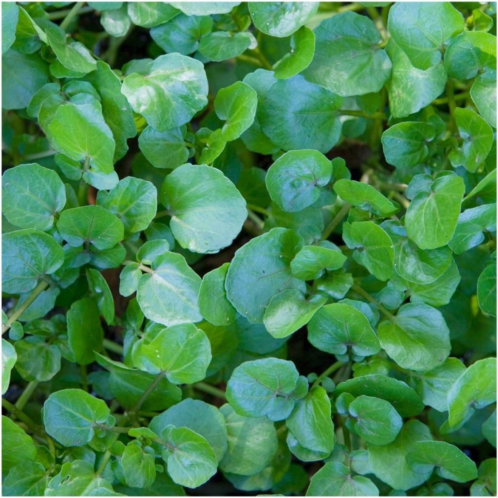 Edible Aquatic Plants