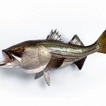 Giant Fiberglass Taxidermy Striped Bass Wall Mount